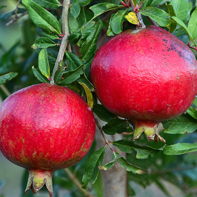pomegranate fruit on tree