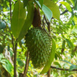 soursop fruit on tree
